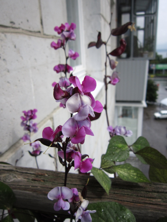 Beautiful flowers of dolichos lablab (hyacinth bean) after the rain. Blooming garden on the balcony in the city.