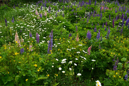 Daisy, lupines, celandine grow in abandoned garden. Pink, violet, white and yellow flowers.