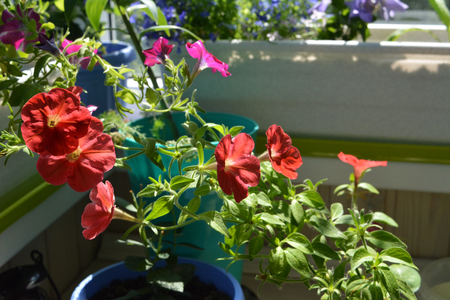 Bright red petunia flowers in small garden on the balcony. Home greening with potted plants.