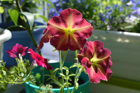 Bright colorful petunia flowers. Small blooming garden on the balcony with potted plants.