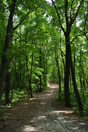 Magic path through lush green forest.