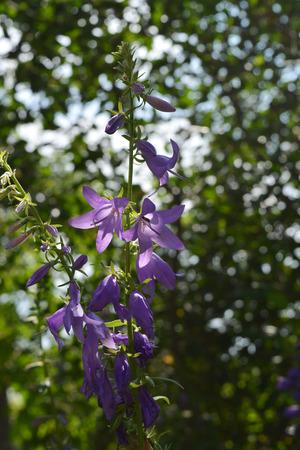 Violet bellflower on blurred background of trees. Flowers in garden. 版權商用圖片