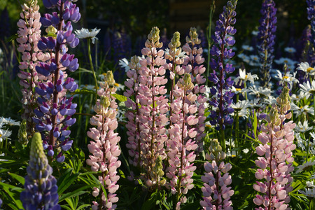 Field of Lupinus. Pink and violet flowers by midsummer.