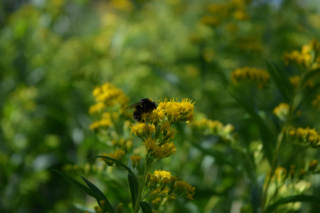 Goldenrod wildflower on blurred natural  background. Bumblebee collects nectar from flower.