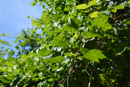 Green grape leaves on the background of clear blue sky. Summer garden.