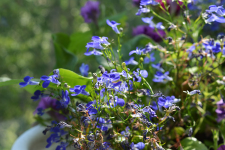 Blue lobelia flowers in pot on blurred background. Small garden on the balcony.