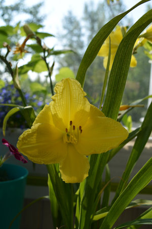 Beautiful yellow flower of daylily. Small urban garden on the balcony in summer.