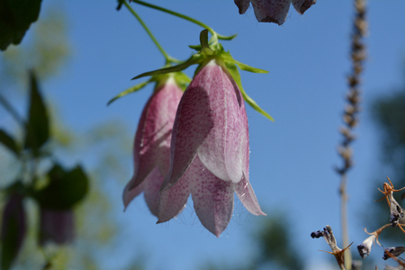 Campanula punctata. Beautiful pink flowers of spotted bellflower on the background of blue sky.