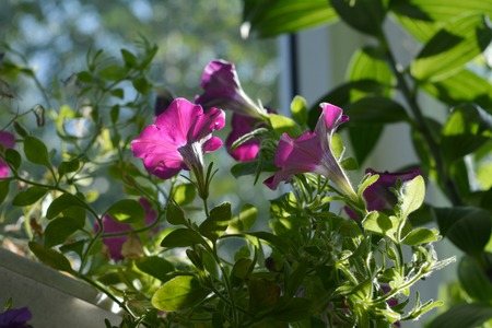 Bright magenta petunia flowers among green leaves. Balcony greening with decorative plants