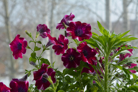 Beautiful magenta petunia flowers and green herb on the blurred background of trees. Balcony greening in march.
