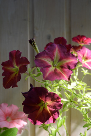 Beautiful petunia flowers on the background of wooden wall. Balcony greening with blooming plants.