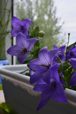 Blooming platycodon grandiflorus. Beautiful violet flowers grow in container in small urban garden on the balcony.