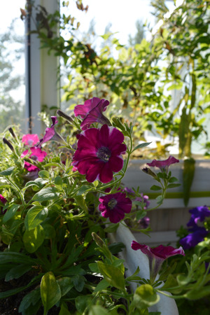 Perfect garden on the balcony. Blooming petunia grows in flower pot. Home greening. Stockfoto