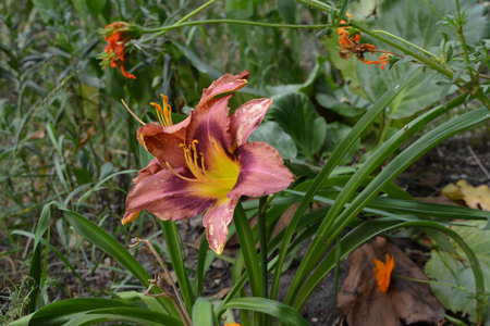 Beautiful flowers of daylily in the city yard. Nature in city. Stock Photo