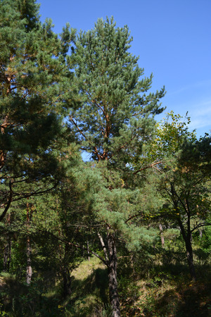 Coniferous forest. Tall pine trees. Woodland in sunny day.