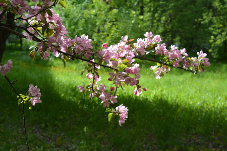 Blooming apple tree in spring. Malus Niedzwetzkyana. Branch with pink flowers on the background of green grass.