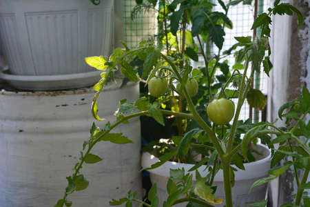 Tomato plants with green tomatoes. Container garden on the balcony. Nature in the city.