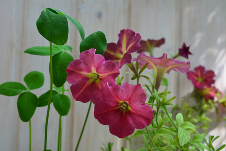 Petunia flowers and clover leaves. Balcony greening by beautiful plants.