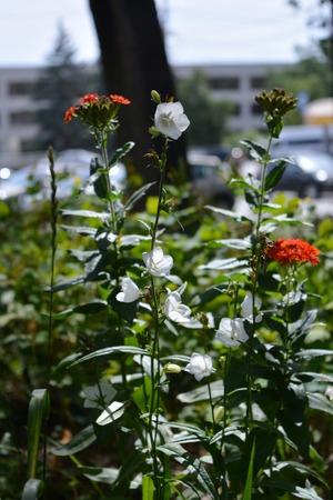 Urban greening. Beautiful red flowers of Lychnis chalcedonica and white bellflowers grow in city yard. Guerrilla gardening.