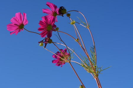 Beautiful cosmea flowers on the background of clear blue sky. Bright summer scene.