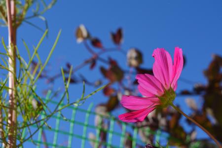 Bright cosmea flower. Balcony gardening. Sunny day.