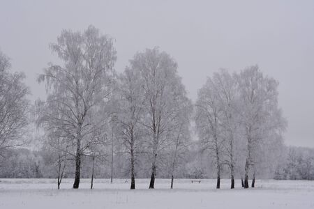 Winter landscape with birch trees in hoarfrost.