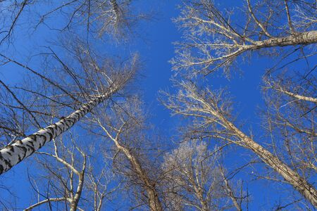 View from below on tree tops on the background of bright blue sky. Stock fotó