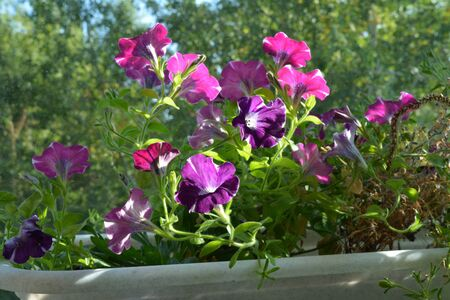 Balcony greening with bright petunia flowers. Popular plants in small urban garden.