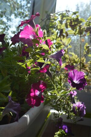 Beautiful petunia flowers grow in container in sunny garden on the balcony.