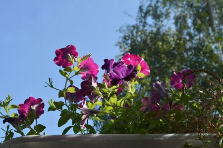 Beautiful petunia flowers grow in container. Summer sunny day.
