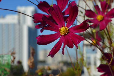 Bright cosmos flowers on the background of city landscape. Small urban garden on the balcony.