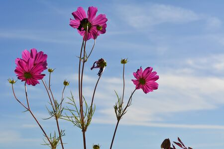 Bright pink cosmos flowers on the background of blue sky with white clouds. Summer day. Stock fotó