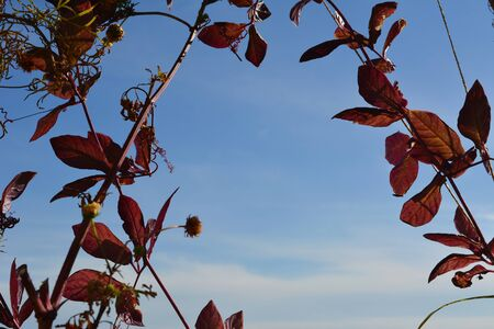 Dark red cobaea leaves on the background of blue sky in autumn.