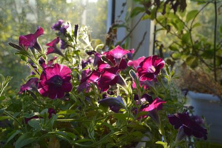 Bright petunia flowers. Sunny day in small urban garden on the balcony.