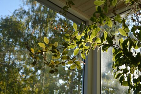 Cobaea in balcony greening. Beautiful climbing plant with green leaves.