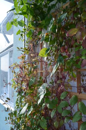Balcony greening by climbing plants. Cobaea and thunbergia on wooden trellis.