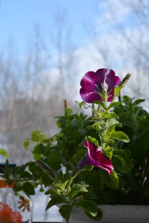 Flowering petunia hybrida in small container garden on the balcony. First flowers among fresh green leaves.