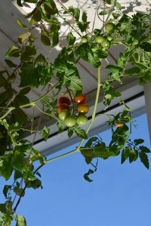Fresh green and red tomatoes grow on the tomato plant. Vegetable garden on the balcony is good in every weather.