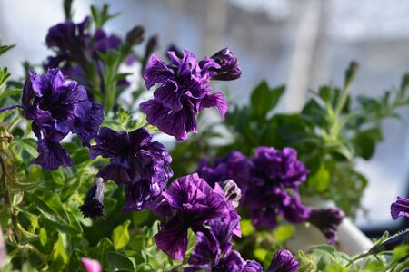 Double purple petunia flowers. Balcony flowering plant. Stock fotó