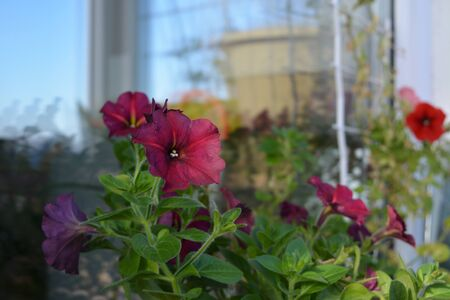 Beautiful petunia flowers grow in cozy garden on the balcony. Stock fotó