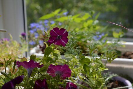 Cute small garden on the balcony with purple petunia flowers. Фото со стока