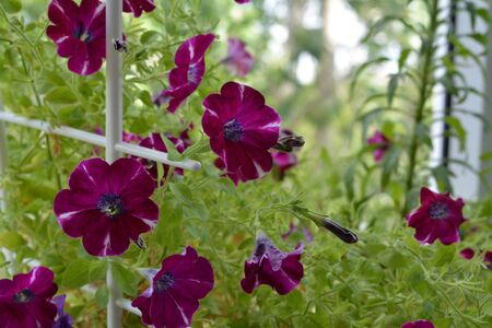 Blooming petunia plant in small garden on the balcony.