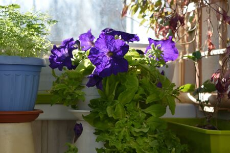 Small blooming garden on the balcony in spring. Beautiful violet petunia and green chervil grow in pots.