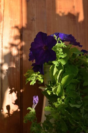 Petunia with dark purple flowers on the background of wooden wall.
