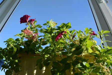 Blooming garden on windowsill. Flowering petunia on the background of blue sky.