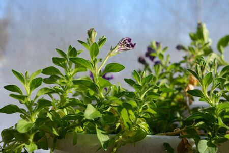 Beautiful garden on the balcony in spring. Petunia with fresh green leaves and buds of flowers. Фото со стока