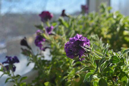 Flowering petunia hybrida. Balcony greening by blooming plants. Close up view. Фото со стока