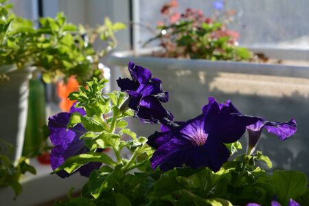 Flowering petunia in spring sunny day. Balcony greening with blooming plants.