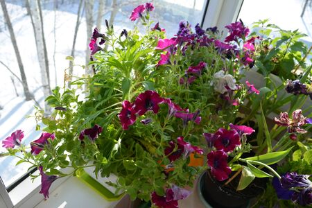 Beautiful garden on the balcony is good in every weather. Flowering petunia grow and bloom in the pot, while it is  winter outside. Фото со стока