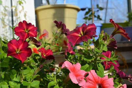 Blooming garden on the balcony with bright petunia flowers in sunny day.